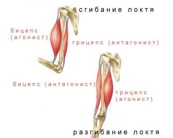 Мышцы антагонисты
