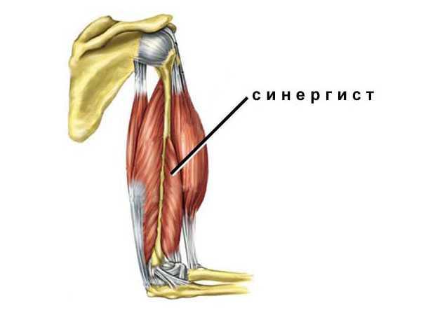 Мышца синергист