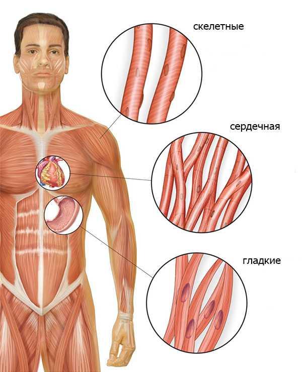 Виды мышечной ткани