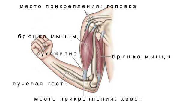 Скелетные мышцы строение