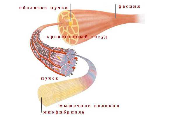 Строение мышц
