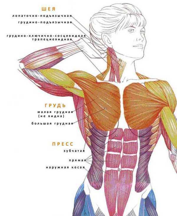 Названия мышц