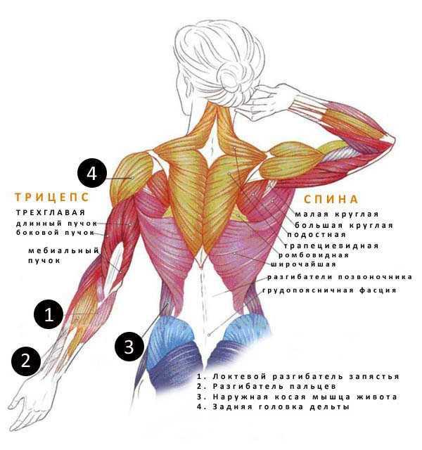 Расположение и название мышц