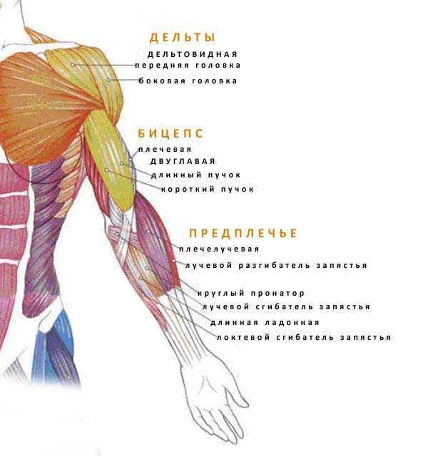 Мышцы верхних конечностей