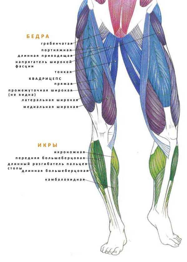 Мышцы нижних конечностей названия